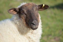 黑面的母羊 免版税库存照片