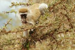 黑面的黑长尾小猴 免版税库存照片