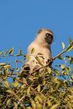 黑面的黑长尾小猴 库存照片