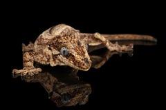 面貌古怪的人壁虎, Rhacodactylus auriculatus凝视在黑背景 库存图片