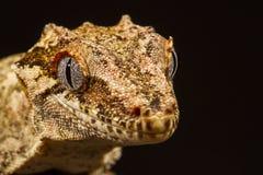 面貌古怪的人壁虎(Rhacodactylus auriculatus) 免版税图库摄影