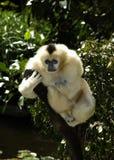 面颊长臂猿白色 免版税库存图片