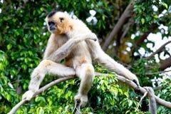 面颊gabriellae长臂猿金黄nomascus 图库摄影