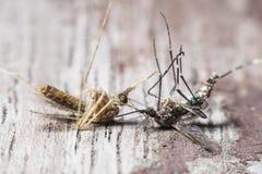 登革热和疟疾的蚊子原因的两个种类 免版税库存图片