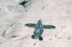 革龟在沙子的海龟小鱼苗 库存照片