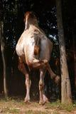 靶垛骆驼 免版税图库摄影