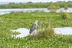 鞋子开帐单的鹳在沼泽 图库摄影