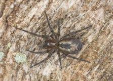 鞋带作成蜘蛛网状蜘蛛(Amaurobius fenestralis) 库存图片