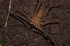 鞭子蜘蛛:恐惧犬齿  免版税库存照片