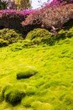 韩国天鹅绒草结缕草tenuifolia或zoysiagrass充满活力和水多的丛和bumbs  免版税库存图片
