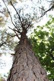 韩国杉树在森林里 免版税图库摄影