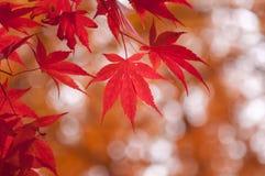 韩国槭树在秋天 免版税库存照片