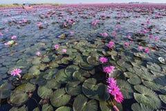 韩的Kumphawapi红色莲池潭在Udonthani,泰国 库存照片