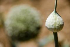 韭葱种子荚 图库摄影