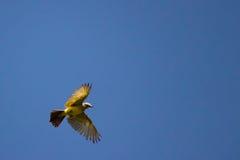 顶上灰色和黄色的鸟 免版税库存图片