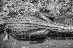 顶上的观点的鳄鱼在沼泽地 免版税库存图片