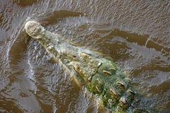 顶上的鳄鱼,当游泳时 免版税库存照片