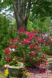 顶出玫瑰 图库摄影