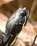 顶头乌龟 库存图片
