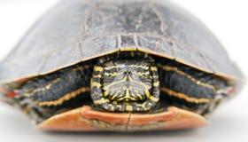 顶头乌龟 库存照片
