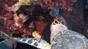 顶头巨型爬行动物Hawksbill海龟玳瑁imbricata在红海 影视素材