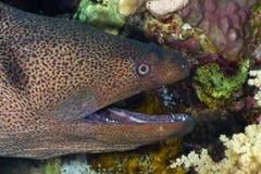 顶头海鳗 免版税库存图片