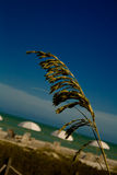 顶头燕麦海运种子 免版税库存图片