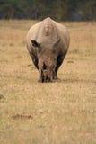 顶头犀牛白色 库存图片