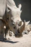 顶头犀牛 免版税库存照片