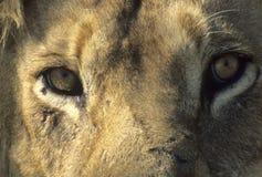 顶头狮子男性休息 免版税库存图片