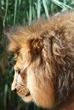 顶头狮子男 免版税库存照片