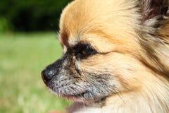 顶头美丽的奇瓦瓦狗 免版税库存图片