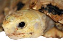 顶头草龟 库存照片