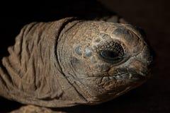 顶头草龟 库存图片