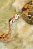 顶头蛇 图库摄影