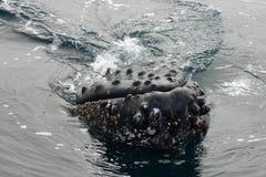 顶头驼背鲸 库存图片