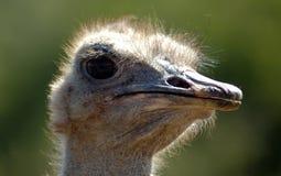 顶头驼鸟纵向 免版税库存照片