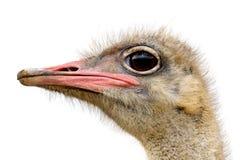 顶头驼鸟 免版税库存图片