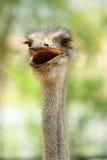 顶头驼鸟 免版税库存照片