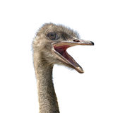 顶头驼鸟 免版税图库摄影
