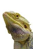 顶头鬣鳞蜥 免版税库存图片