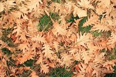 顶视图下落的橡木叶子 库存照片