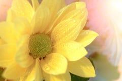 顶视图和选择聚焦在美好的chrys黄色flawer  库存照片