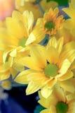 顶视图和选择聚焦在美好的chrys黄色flawer  免版税库存图片