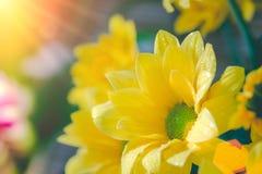 顶视图和选择聚焦在美好的chrys黄色flawer  免版税库存照片
