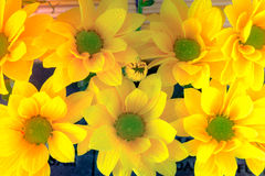 顶视图和选择聚焦在美好的chrys黄色flawer  免版税图库摄影