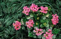 顶视图射击了美丽的桃红色Kalanchoe和深绿hoorah 图库摄影