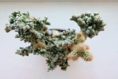 顶视图小绿色仙人掌植物 库存照片