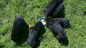 顶视图德国牧羊犬小狗喝从蓝色碗的牛奶 股票录像