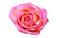 顶视图桃红色上升了在白色背景隔绝的花 库存照片